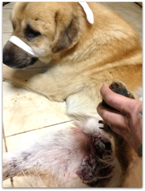 Save BODI : Hunted and Shot on his Genitals